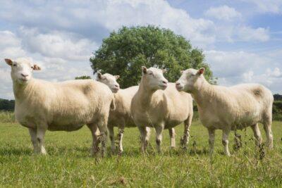 10 lợi ích chăn lông cừu giữ ấm giấc ngủ từ kinh nghiệm chuyên gia