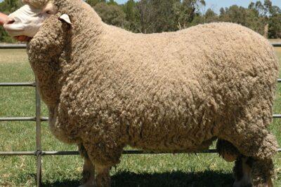 5 loại chăn lông cừu tự nhiên 100% cao cấp nhập khẩu từ Úc xịn giá tốt