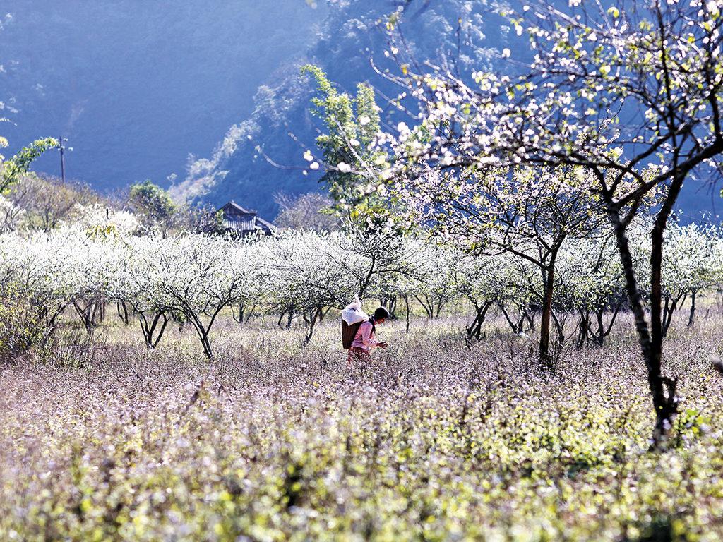 Tháng 2 lên Mộc Châu ngắm hoa mận trắng