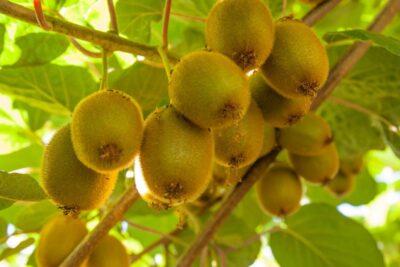 4 cách ăn quả kiwi ngon miệng giúp hấp thu nhiều dinh dưỡng nhất