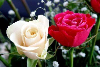 Lễ Vu Lan cài hoa gì? Nguồn gốc, ý nghĩa màu hoa cài áo ngày cha mẹ