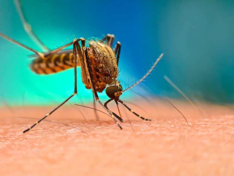 Muỗi vằn là sinh vật trung gian truyền bệnh sốt xuất huyết