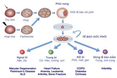 Phương pháp cấy ghép tế bào gốc là gì, nguy hiểm không, quy trình làm