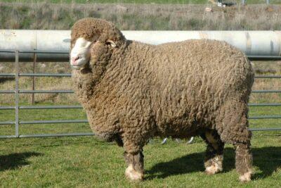 Hướng dẫn cách nhận biết chăn lông cừu thật chính hãng tránh hàng giả