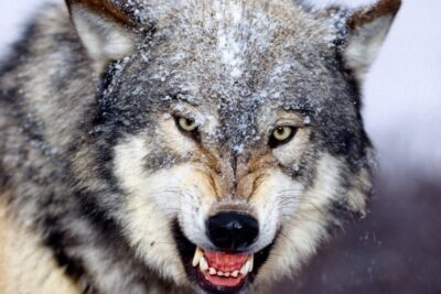 """Muốn thành công, hãy """"sinh tồn"""" khôn ngoan như loài sói"""